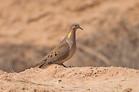 The mourning dove is probably the most common bird in the United States and North America. A prolific breeder, it is one of the most hunted birds too, yet its population never seems to decrease. Unlike other doves and their pigeon relatives, this species is a survivor! This one was photographed near the shore of the Salton Sea in Southern California.