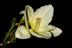 Lilies Editorial and Stock Photos
