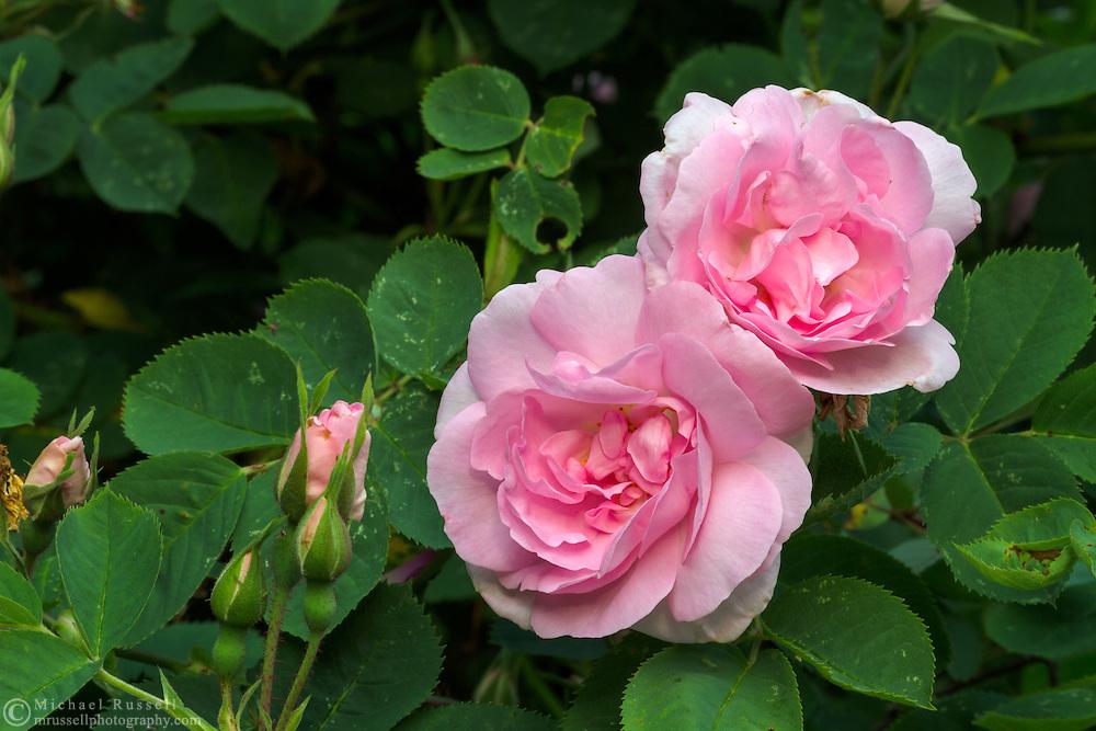 Rosa 'Celestial' (Old Garden Rose) flowering in the spring