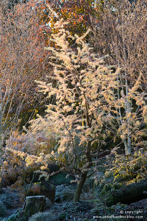 Larix decidua 'Little Bogle' syn L. europaea - larch, illuminated by first light on a frosty winter's morning in John Massey's garden