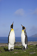 King Penguin<br /> Aptenodytes patagonicus<br /> Courting pair<br /> Saint Andrews Bay, South Georgia