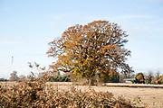 Quercus Robur English oak in autumn leaf, Sutton,, Suffolk, England, UK