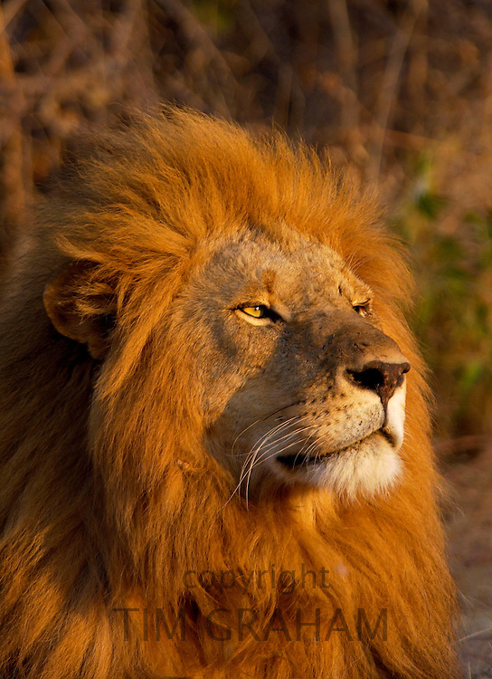 Portrait of a battle scarred male Lion, Panthera leo, at Grumeti, Tanzania, East Africa - RESERVED USE