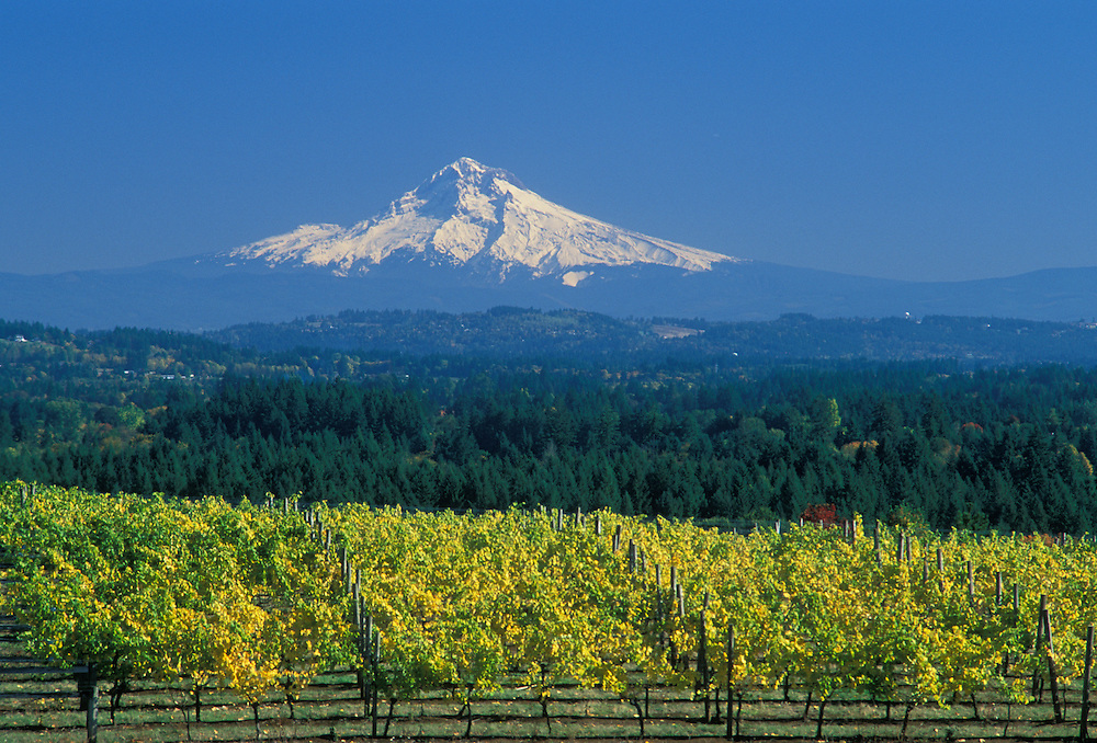 Mount Hood with grape vines at Ruby Vineyards in the Chehalem Hills overlooking Tualatin Valley, Oregon.