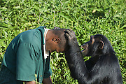 Chimpanzee<br /> Pan troglodytes<br /> Rescued sub-adult female grooming Chimp Caretaker, Bruce Ainebyona <br /> Ngamba Island Chimpanzee Sanctuary<br /> *Model release available - release # MR_011<br /> *Captive