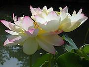 Lotus Flower Duet ~ © Laurel Smith