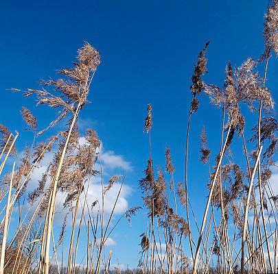 Nederland, Ubbergen, 18-3-2013Riet in een drassig natuurgebied. Riet kan 1-3 m hoog worden. De stengel staat stijf rechtop en het 1-3 cm brede blad met spits toelopende top is grijsgroen.