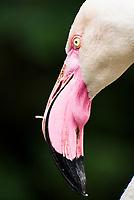 Greater Flamingo, Lake Nakuru National Park, Kenya