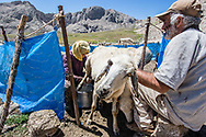 Munzur Mountains, Turkey  - July 23, 2014 - Efrail (in foreground) and Sakine Ozkanli milk their sheep in the high meadows of the Munzur Mountains. CREDIT: Michael Benanav for The New York Times