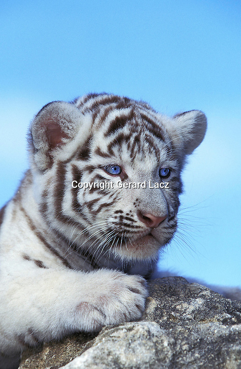 WHITE TIGER panthera tigris, CUB STANDING ON ROCK