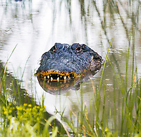 American Aligator, Alligator mississippiensis;<br />