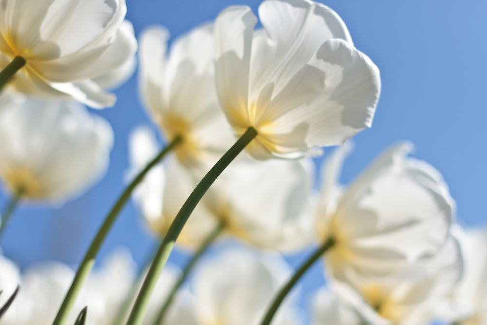 Backlit White Tulips
