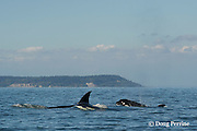 transient orcas or killer whales, Orcinus orca, surface in the San Juan Islands, Washington, United States; a calf pushes up a lens of seawater as it surfaces