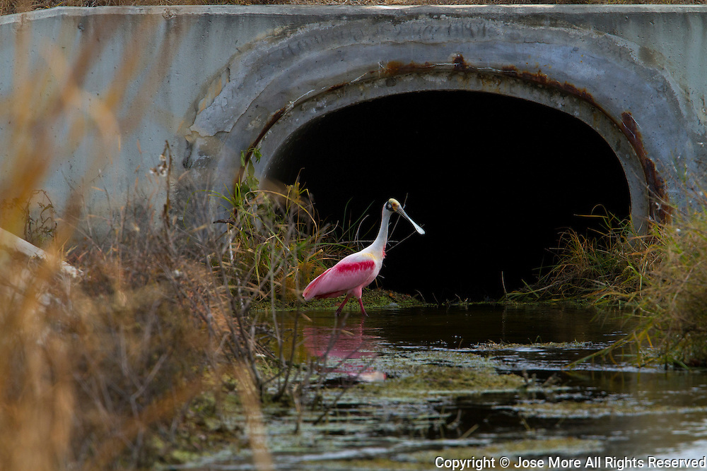 A Roseate Spoonbill feeding in a drainage ditch. The Roseate Spoonbill, Platalea ajaja, a large wading bird with pink plumage and a distinctive spatula shaped beak. It stand 85 cm tall and have a 1.3 m wingspan being one of the most striking birds found in North America. The Roseate Spoonbill breeding range extends south from Florida through the Greater Antilles to Argentina and Chile. <br /> Photography by Jose More