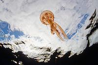True jelly fish, Pelagia noctiluca.Pico, Azores, Portugal