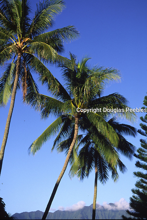 Coconut palm trees, Oahu, Hawaii<br />