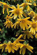 Arnica, Tundra, Yellow flower, flower, Wildflowers, Denali National Park, Alaska