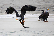 A Bald Eagle escapes with salmon remains. The eagles were constantly stealing the fish from one another.  Once a fish was eaten to a manageable size, the eagle will try to fly off with the remains. If they can make it to the trees with the fish they seem to be able to keep it.  Often when one escapes with a salmon they are pursued by other eagles hoping to steal it.