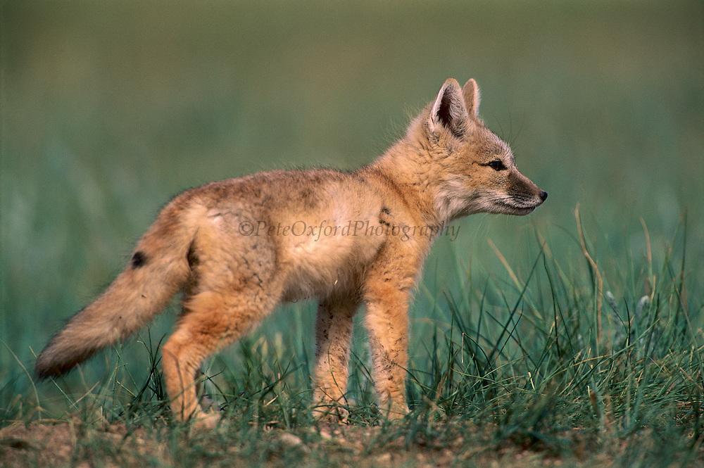 Corsac Fox (Vulpes corsac) pup, Mongolia