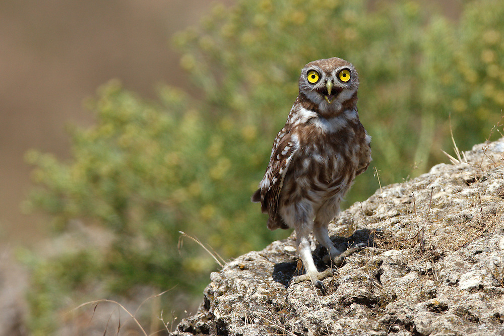 Little Owl sitting on the stones on steppe, Bagerova Steppe, Kerch Peninsula, Crimea, Ukraine