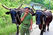 Man leading bullocks near Tumba Cuatro, Ciudad de La Habana, Cuba.