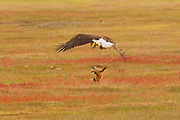 A bald eagle drops a red fox after stealing the European rabbit the fox had caught in San Juan Island National Historical Park in Washington state. When the bald eagle grabbed the rabbit, it inadvertently also caught the fox, lifting both more than 20 feet into the air. The fox swung back and forth trying to take the rabbit back. The bald eagle released the fox and flew off with the rabbit. The whole struggle lasted 8 seconds. Both European rabbits (Oryctolagus cunuculus) and red foxes (Vulpes vulpes) were introduced to San Juan Island. The rabbits were introduced to the island in the 1890s by settlers; foxes were introduced occasionally in the 1900s. The European rabbits in particular are considered an invasive species, turning the prairie into an unsustainable barren landscape with their vast burrows. This displaces small native mammals, such as the Townsend's vole. While bald eagles and foxes occasionally hunt rabbits, it is a relatively rare occurrence. Up to 97 percent of an eagle's diet consists of fish and birds; red foxes more commonly eat berries, insects and small mammals, like the vole.