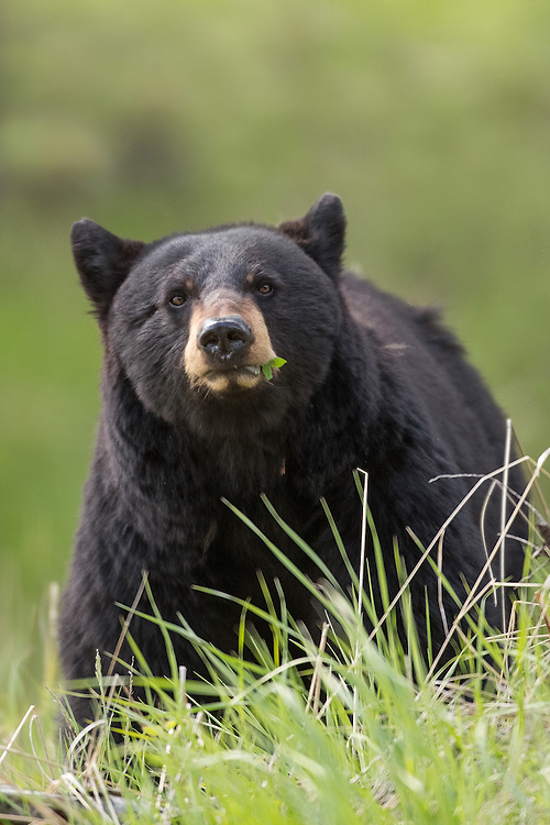 After spending months in their winter den, black bears begin to pack on the pounds once they emerge in spring.  A bear's diet changes seasonally, but during spring they prefer the tender emerging shoots of sedges, grasses, cow parsnip, leaf buds and skunk cabbage.