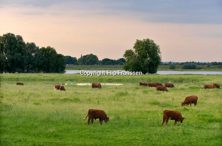 Nederland, Beuningen, 7-6-2016 Wilde runderen, van het rs, soort, Rode Geus, in de uiterwaarden van de rivier de waal. FOTO: FLIP FRANSSEN/ HH