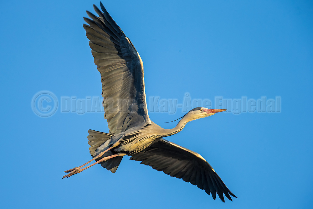 Grey Heron in flight | Gråhegre i flukt