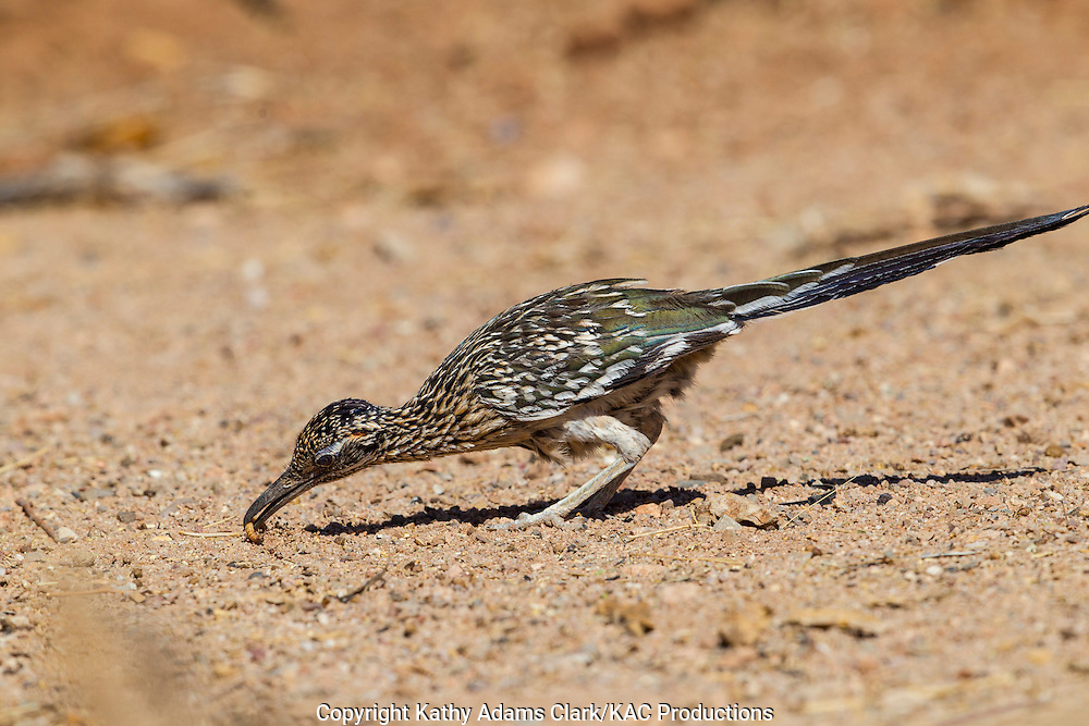 Greater roadrunner; feeding on worm,  Sonoran Desert; Southern; Summer; Arizona; Geococcyx californianus;