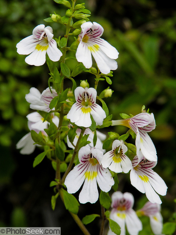 Eyebright flowers, Nydia Track, South Island, New Zealand