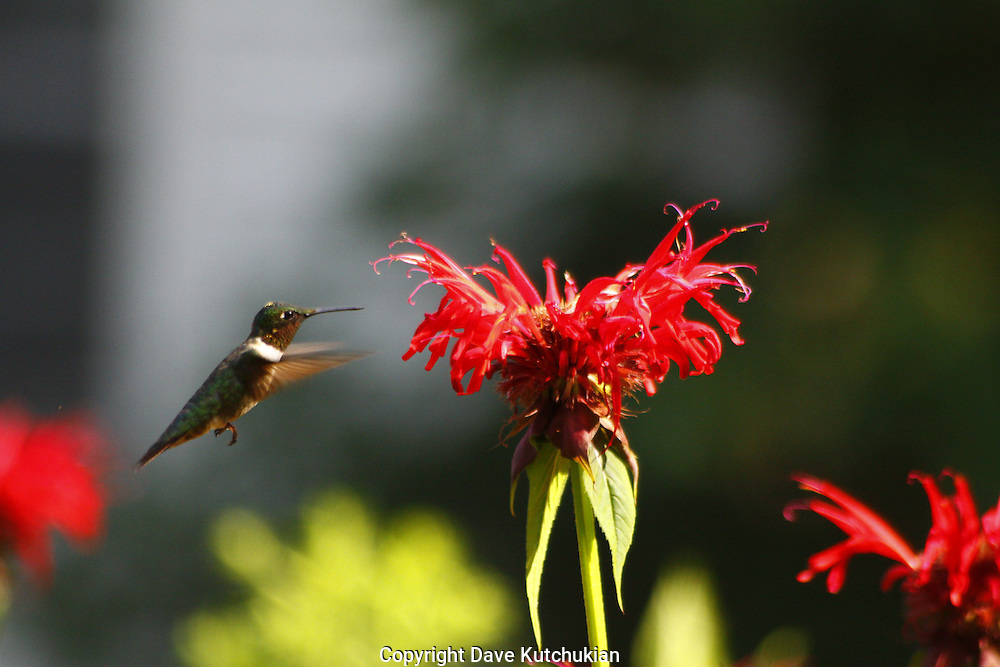 male humming bird feeding on beebaum