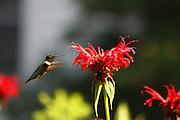 male humming bird feeding on beebaum