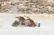 American Quarter Horse rolling in fresh snow,  © 2009 David A. Ponton, [Prints to 8x12, 16x24, 24x36 or 40x60 in. with no cropping]