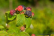 USA, Oregon, Corvallis, Black Raspberries at various stages of ripeness at a research farm.
