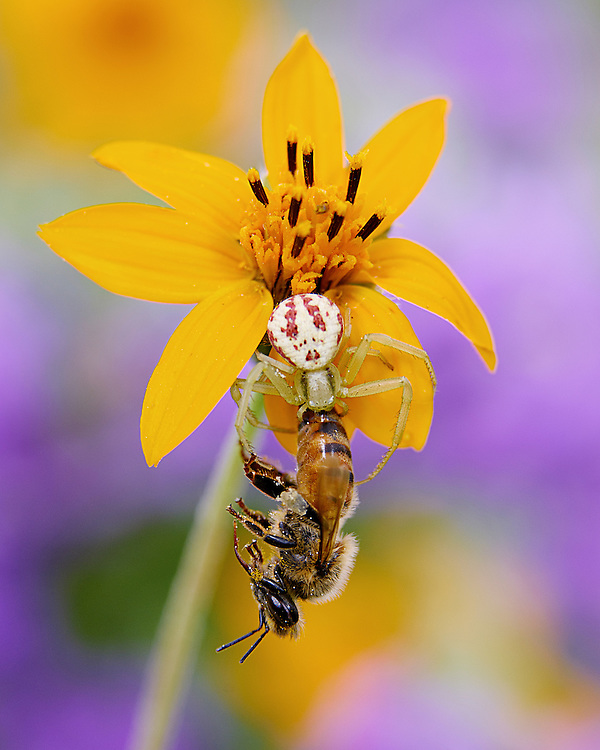 Crab Spider, Mecaphesa sp. with captured Honey Bee, Apis mellifera;<br />