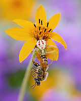Crab Spider, Mecaphesa sp. with captured Honey Bee, Apis mellifera;<br /> Photographer:  Robert Rommel <br /> Property:  Sick Dog Ranch / Mitchell &amp; Dianne Dale, Michael Dale<br /> Jim Wells County