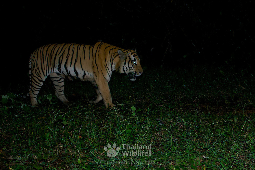 Wild Indochinese male tiger camera trapped in Thailand's Dong Phayayen - Khao Yai World Heritage Site. The Indochinese tiger (Panthera tigris corbetti) is a tiger subspecies found Thailand. Only 250 wild tigers still survive in Thailand and are approaching the threshold for critically endangered.