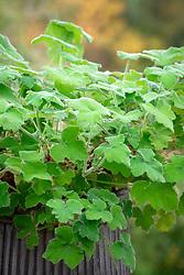 Pelargonium tomentosum - Peppermint-scented geranium - in a metal container.