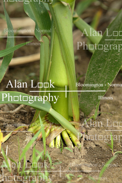 Finfrock State Natural Habitat Area (Illinois)Corn (Maize) plant roots and lower stalk<br /> <br /> Finfrock State Natural Habitat Area (Illinois)