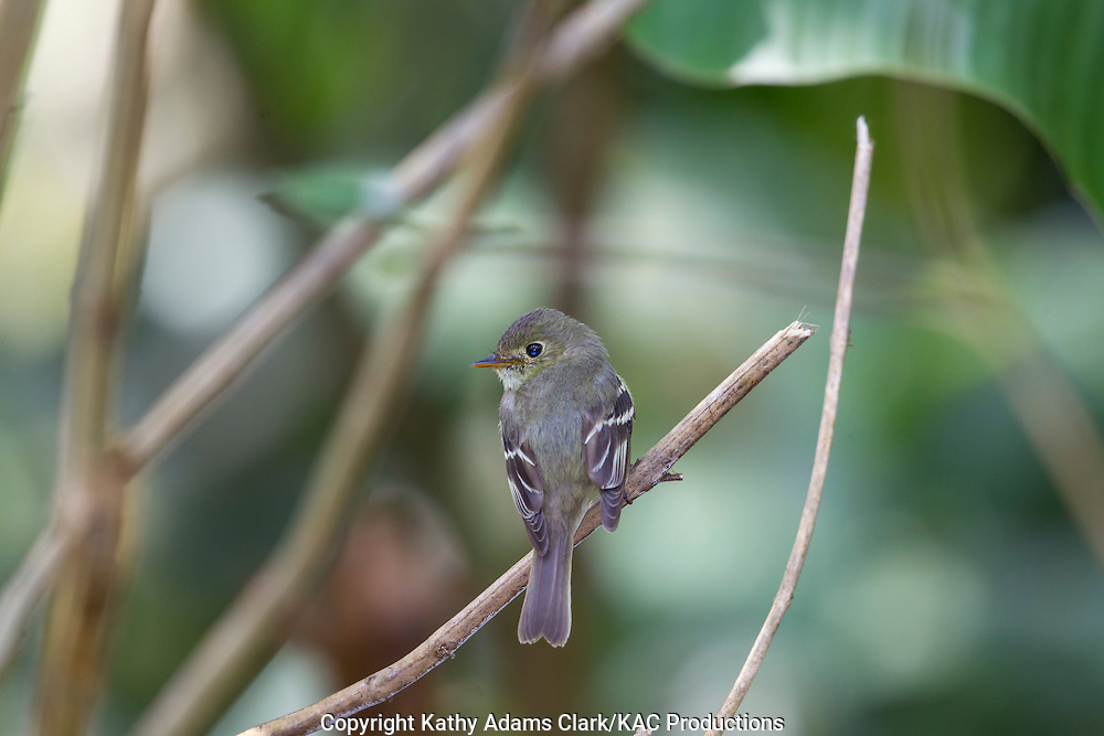Least flycatcher, Empidonax minimus, Rancho Naturalista, near Turrialba, on the Caribbean slope, Costa Rica.