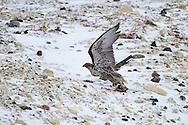 00817-00603 Gyrfalcon (Falco rusticolus) dark phase with prey Churchill Wildlife Management Area Churchill MB