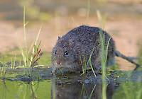 Hispid Cotton Rat, Sigmodon hispidus;<br />