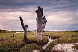 Tree stumps and sea lavender, Thornham, North Norfolk Coast, England, UK.