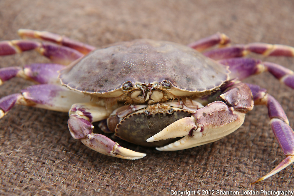 A male crab holds on to its female partner after being caught in a crab trap at the Channel Islands off the coast of Santa Barbara, California..