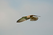Lesser kestrel (falco naumanni) female flying in blue sky. This species breeds from the Mediterranean across southern central Asia to China and Mongolia. It is a summer migrant, wintering in Africa, Photographed in Israel