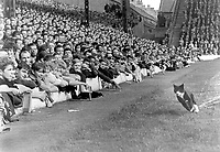 "The Liverpool ""Kop"", revel at a cat which ran the full length of the pitch. Liverpool v Asenal 22/8/64. Credit: Colorsport"