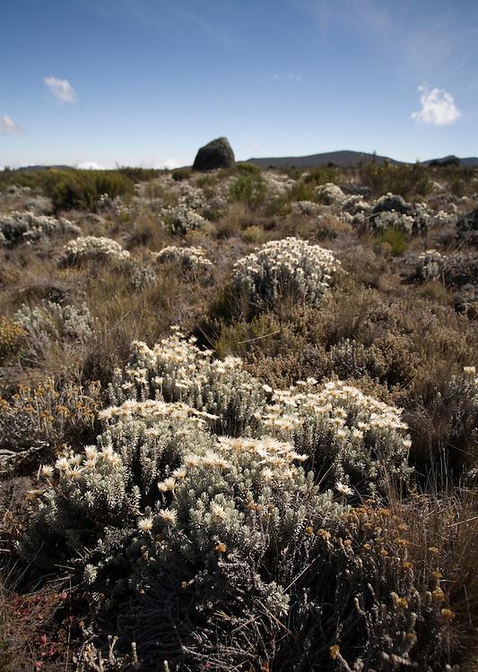 Africa, Tanzania, Kilimanjaro National Park, Morning sun lights wildflowers on Shira Plateau (12000') on Mount Kilimanjaro climbing expedition