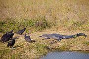 Black vultures, Coragyps atratus, alongside alligator in the Everglades, Florida
