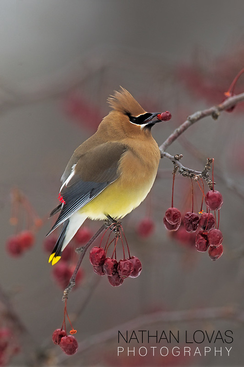 Cedar Waxwing eating red crabapple berry while perched;  Minnesota.